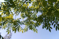 Саженцы ореха манжурского
