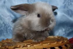 Крольчата декоративные вислоухие из питомника